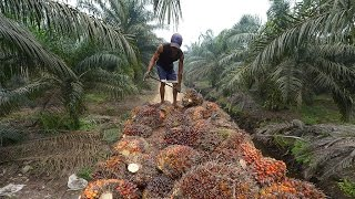 Curbing Europe's appetite for palm oil